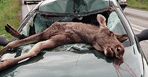 Sarhoş geyikler İsveç'in başına bela oldu