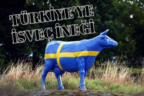 Türkiye'ye İsveç İneği