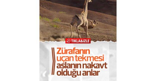 Zürafadan aslana uçan tekme