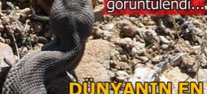 Dünyanın en zehirli yılanı Türkiye'de