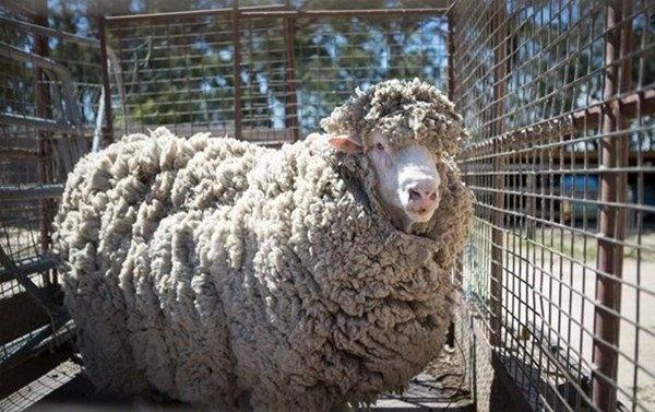 Avustralya'da 4 yıl boyunca tüyleri kesilmeyen koyun görenleri hayrete düşürdü.