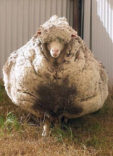 Avustralya'da ortaya çıkan bu koyun adeta rekor kırdı...