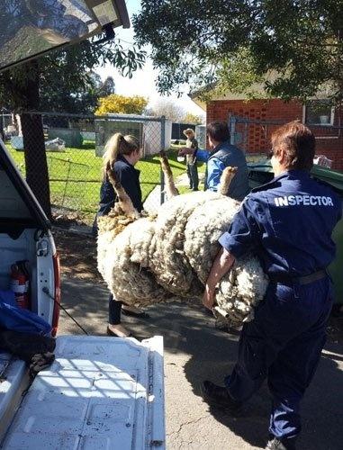 Geçtiğimiz günlerde Tanzanya'da ortaya çıkan kaçak koyunun ardından şimdi de 40,5 kiloluk yünüyle hayatında ilk defa kırpılan başka bir koyun bulundu...
