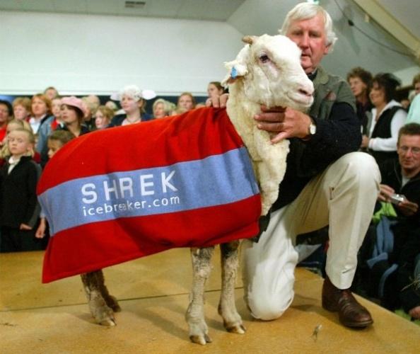 """""""Şimdiye kadar gördüğüm en ağır koyun"""" diyen Hazell, """"Shaun""""un Yeni Zelanda'da yaşayan """"Shrek"""" isimli koyunun rekorunu egale edebileceğini belirtiyor..."""