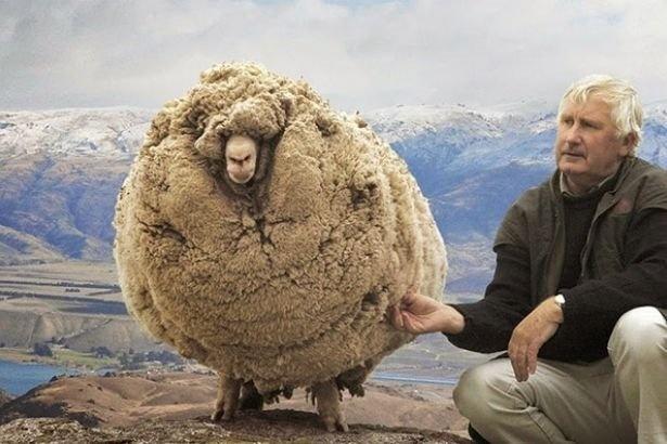 """""""Shaun"""" adı verilen koyun, iki çiftçi tarafından Tazmanya otlaklarında başıboş gezerken bulunmuştu..."""