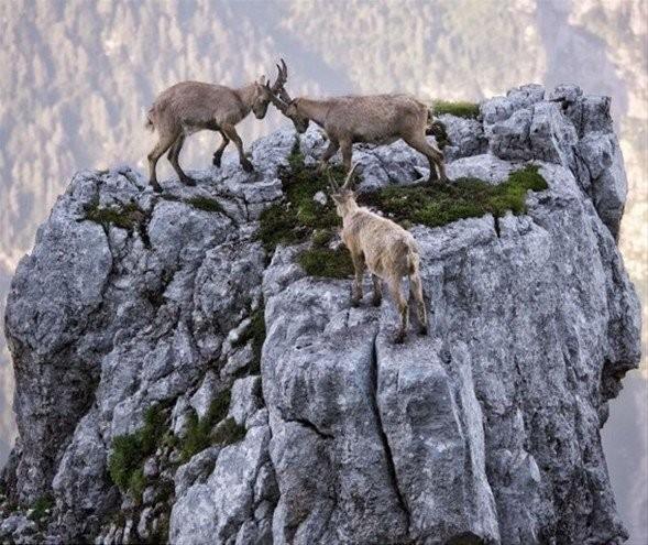 Dağ keçilerinin 4 bin metre yükseklikteki kavga görüntüsü yürek hoplattı.