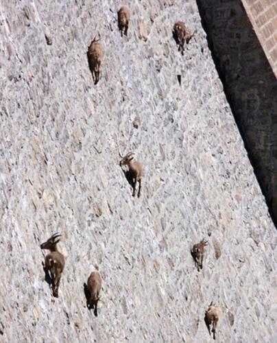 İsveç sınırında neredeyse 90 derecelik, 50 metre yüksekliğindeki Cingino bariyeri cesur yürek keçilerin en cazip mekanı..