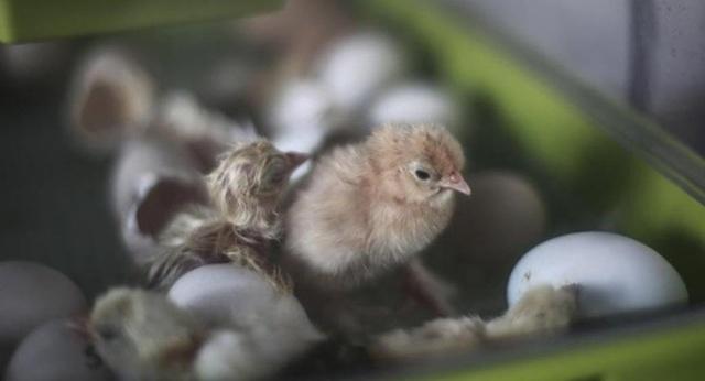Çin'in Vuhan kenti merkezli koronavirüs salgını onlarca ülkeye sıçrayıp panik yaratırken, bir yandan da çeşitli ülkelerden yeni kuş gribi salgınlarının haberleri geliyor.