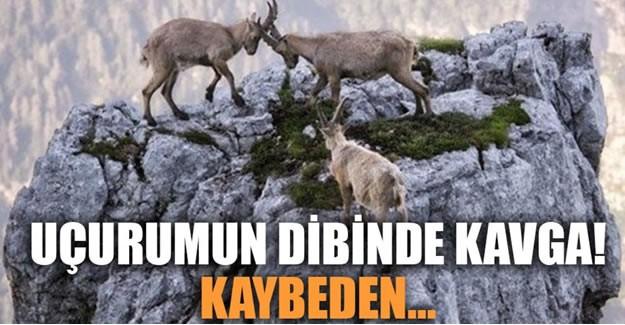 Keçilerin mükemmel tırmanma kabiliyetleri nereden geliyor?