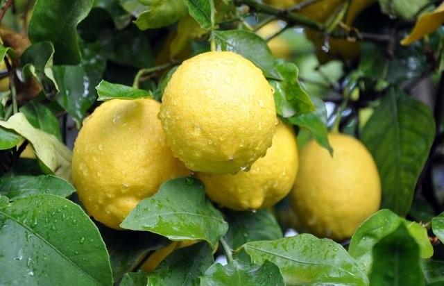 Limon gibi bazı kokular ferahlatıcı özelliğe sahiptir.