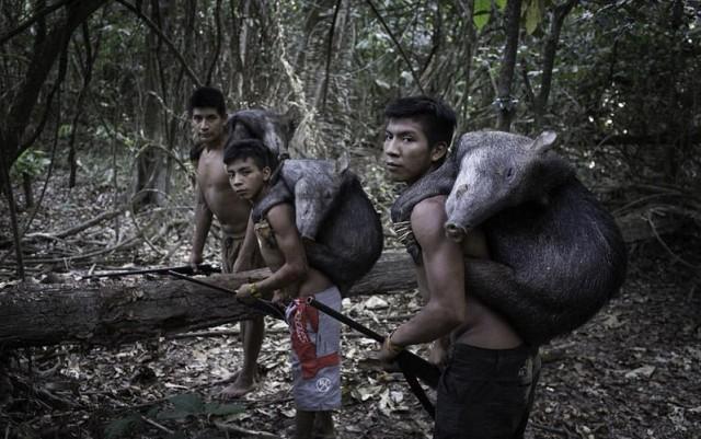 Awa insanlarının evcil hayvanları, çocukluktan itibaren bazen doğanın en vahşi hayvanları olabiliyor. Böylece kabile çocukları da hayvan yavrularıyla birlikte büyüyor.