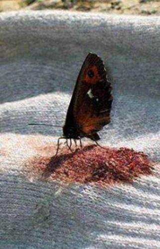 Kelebekler kan içer