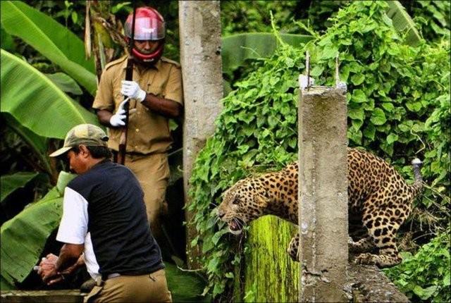 Vahşi leopar veterinere götürülürken öldü...
