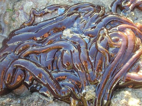 Bantlı solucan zehrinin kabuklu böcekleri etkileyen en güçlü zehir olduğunu aktaran Görranson, zehrin gelecekte ilaç yapımında kullanılabileceğine işaret etti.  Latince ismi 'Lineus longissimus' olan bantlı solucanlar, 55-60 metreye ulaşabilen uzunluklarıyla dünyanın en uzun hayvanı olarak tanınıyor.