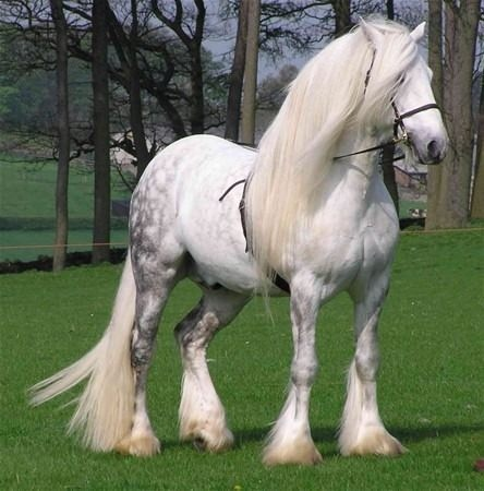 Percheron Atı İngiltere ve Kuzey Amerika'da çok yetiştirilen Percheron atının anayurdu Fransa'daki Perche bölgesidir. Birçok yönden Suffolk atına benzeyen bu atın da rengi hiç değişmez, her zaman boz ya da yağızdır.