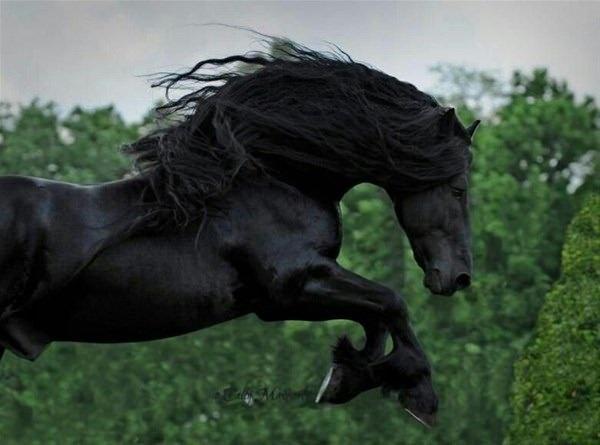 ABD'de yaşayan Frederik, en yakışıklı at yarışmasını kazandı.