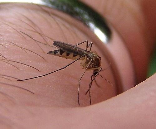 2. Alkol içerken dikkat  Alkol, vücudun salgılanmasına, alkol içinde karbondioksit fazla olması nedeniyle sivrisineği kendine çekiyor. Bu nedenle alkol içmeye başlamadan önce dikkatli olmakta fayda var.