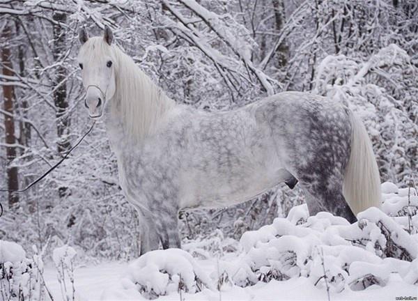 Orlov TrotterOrlov atı Rusya da en üstün biniş atlarından biri haline gelmiştir.
