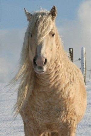 Yaz ayında atın tüyü bukleler haline gelir ve kıvırcık olur. Kış ayında eski haline döner. Tüyleri normal at gibi olur.