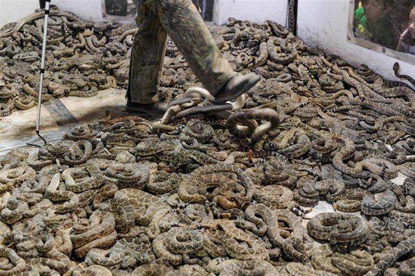 ABD'nin Texas eyaletinde her yıl Çıngıraklı Yılan Festivali düzenleniyor. Yüzlerce yılanın yendiği festivalin amacı çıngıraklı yılanların sayısının kontrol altında tutulması..