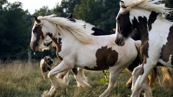 Pinto atı