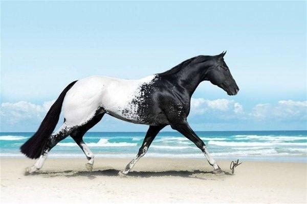 Appaloosa atı