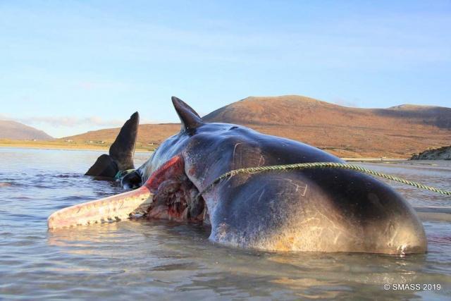 Denizde ölü olarak bulunan bir balinanın midesinden 100 kiloluk çöp çıktı.  Dev balinanın midesinde yüzlerce kiloluk plastik, ağ ve ip çıktı.