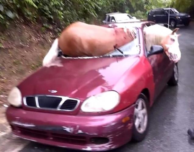 Porto Riko'da bir atın, arabanın içine sıkıştığı akılalmaz görüntü sosyal medyada 2,2 milyon kişi tarafından görüntülendi.
