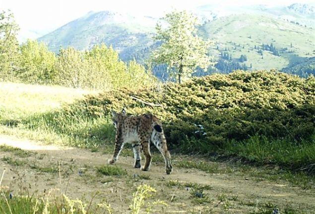 Vaşakların gün içerisinde nadir görüldüğünü ifade eden Kuduban, 'Vaşaklar gece avlanır. Gündüz saatlerinde nadiren görülür. Gün içerisinde olması nedeniyle Alucra'daki fotokapan hayvanın görüntüsünü çok net almış.' dedi. Kuduban, yaptıkları araştırmalar ve incelemelere göre kediye benzeyen bu hayvanların bölgedeki popülasyonunun arttığını bildirerek, özellikle Giresun'un iç kesimdeki bölgelerinde bu hayvanların ciddi varlığının söz konusu olduğunu, bu durumun kendilerini sevindirdiğini söyledi.