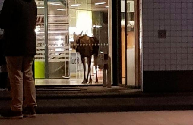 İsveç'in Göteborg şehrinin dışında bulunan Partille Alışveriş Merkezi'ne giren bir geyik görenleri şaşırttı.
