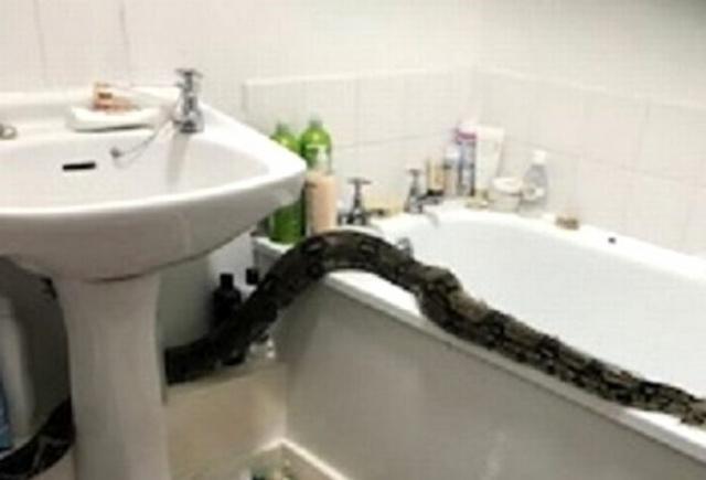 Bir dairenin 1. katında kalan kadıncağız, uykudan uyanıp lavaboya gittiği sırada banyosunda 2 metre uzunluğunda bir boa yılanı buldu. Kadın nereden geldiği konusunda şaşkına döndü. Ne dairede oturan kadın ne de komşuları yılanın nereden geldiğini bilmiyordu.