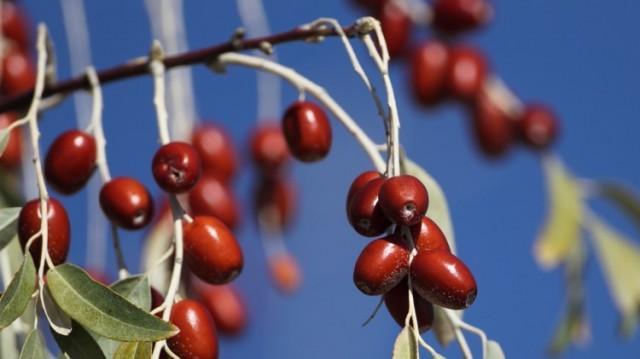 İğde, elaeagnus olarak da bilinen, ağaçta yetişen küçük çekirdekli bir meyvedir.