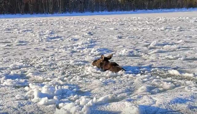 İsveçli aile Pazar sabahı planlanan kayak gezisine çıkarken, planlarını değiştiren bir geyik sürüsü oldu.