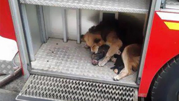 Anne köpek, annelik iç güdüsüyle kendi hayatını riske ederek bütün yavrularını kurtarmayı başardı. Ancak kendi vücudunda yanıklar oluşmuştu. Aile bireyleri ise küçük yaralanmalarla kurtuldu. Hepsi Amanda sayesinde oldu.  Görünüşe göre bir anne ile yavrusunun arasına alevler bile giremiyor. Ne kadar güzel bir kavram şu annelik!  Annelik dünyanın en güzel şeyi! Amanda'nın yavrularını kurtarmak için kendi hayatını riske attığı hikâyeyi tanıdığınız bütün hayvanseverlerle paylaşmayı unutmayın.  Newsner