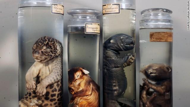 Organ parçalarından hayvan embriyolarına kadar pek çok ürkütücü örneğin sergilendiği bu müzeler tıp tarihine ışık tutarken ziyaretçileri de zaman zaman korkutuyor.  Vrolik Müzesi, Hollanda  Amsterdamlı bir ailenin tıp ve anatomi ile ilgili koleksiyonunun sergilendiği müzede 10 bin üzerinde fetüs, yapışık ikiz ve pek çok ilginç örnek bulunuyor.