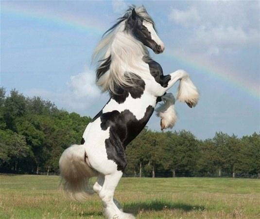 Gypsy AtıGypsy Vanner Bu atlar uzun yeleleri ve tüylü ayaklarıyla biliniyor.