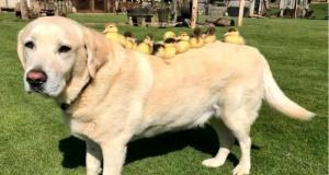 Anneleri ölen 9 yavru ördeğe annelik eden köpeği görenler saşırıyor