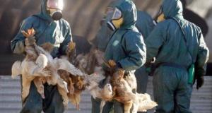 İsveç ve Avrupa'da hızla yayılan kuş gribi kümes hayvancılığını tehdit ediyor
