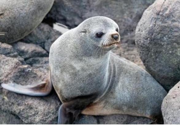 Muhteşem bir yeşillikle bezeli ada Yeni Zelanda ve Avustralya'ya özgü kürklü foklar, deniz filleri gibi kuluçkadaki memeliler ve daha pek çok canlı türü için çok çok önemli bir alan teşkil ediyor.