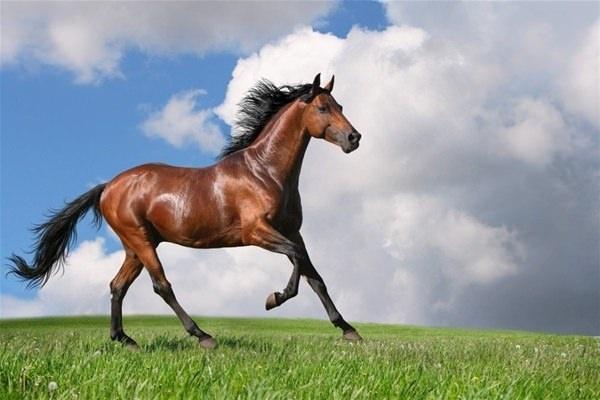 The TrakehnerTrakehner Almanya'nın en eski ırklarından biridir. Trakehner atları halen dünyanın farklı bölgelerinde yetiştirilmektedir. II. Dünya Savaşı'ndan sonraki yıllarda Trakehner aygırları diğer Alman ılıkkanlı türlerine çekilerek farklı cinsler ortaya çıkmıştır.