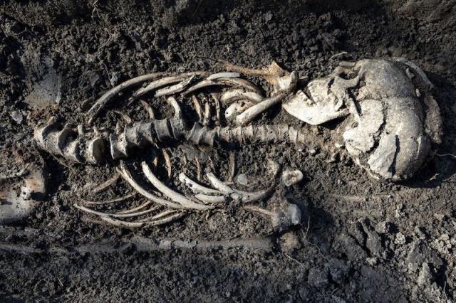 """İsveç'in Sigtuna kasabasında, ikiz oldukları düşünülen bebekler de dâhil olmak üzere iyi bir şekilde korunmuş yedi Viking mezarı keşfedildi.   Bu yakın çekim, İsveç'teki mezarlarda bulunan mezarlardan birini gösteriyor. Yaklaşık 1.000 yıl önce yaşamış Hıristiyan Vikingler oldukları düşünülüyor. C: Uppdrag arkeologi   Arkeologlar, mezarların içinde sekiz kişinin (dört yetişkin ve dört çocuk) 1.000 yıllık kalıntılarını keşfetti, bunlar muhtemelen Hıristiyanlığa geçen Vikinglerdi. Alanın kazılarına öncülük eden bir kültürel kaynakların yönetim şirketi Uppdrag Arkeologi'de proje yöneticisi olan Johan Runer, """"Kazılan mezarlardaki insanların Hıristiyan olduğu gömülme şeklinden belli."""" diyor.  Runer, birçoğunun doğu-batı yönünde sırt üstü düz bir şekilde gömüldüğünü, oysa o zamanlar İsveç'in bu bölgesinde geleneksel Viking inançlarına inanan insanların yakıldığını söylüyor.  Ayrıca kömür birikintileri ve bazı durumlarda kısmen yanmış tabutlar bulundu, bu da en az dört kişinin yakıldığını gösteriyor. Runer, """"Bu tür olaylar Hıristiyan Viking dönemi mezarlarında oldukça yaygındı ancak Sigtuna'da oldukça ender görülen bir durum."""" diyor."""