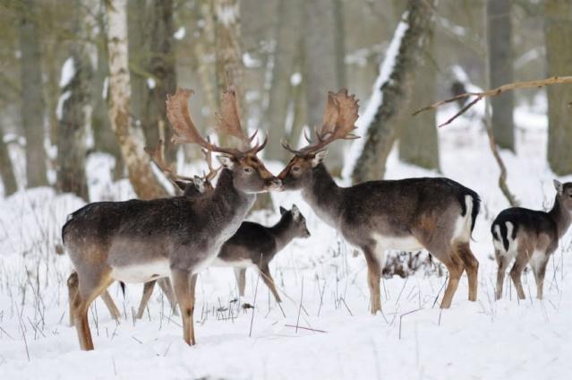 Geyiklerde zayıflama, titreme ve felce neden olan bir hastalık, kuzey İsveç'teki dört geyiği etkiledi.   İsveç Tarım Kurulu, enfeksiyonun daha fazla yayılmasını önlemek için kısıtlamaları genişletmek istiyor.