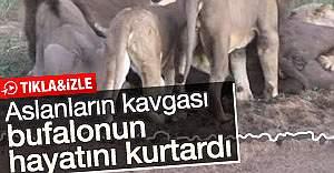 Aslanların kavgası bufaloyu kurtardı