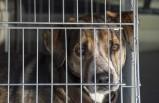 İsveç'te polis köpek çetesinin peşine düştü