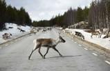 İsveç'te sürücüler için yolda geyik var uygulaması geliştirildi