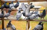 İsveç'te virüs nedeniyle çok sayıda güvercin öldü