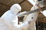Türkiye'den bir ilk: Koronavirüse karşı atlardan elde edilen antiserum üretiminde sona gelindi