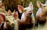 Skåne'de enfeksiyon nedeniyle binlerce domuz öldürüldü