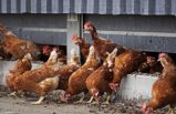 Fransa ve Danimarka'da kuş gribi alarmı: Binlerce kümes hayvanı itlaf edildi