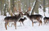 İsveç'te geyik enfeksiyonu alarmı